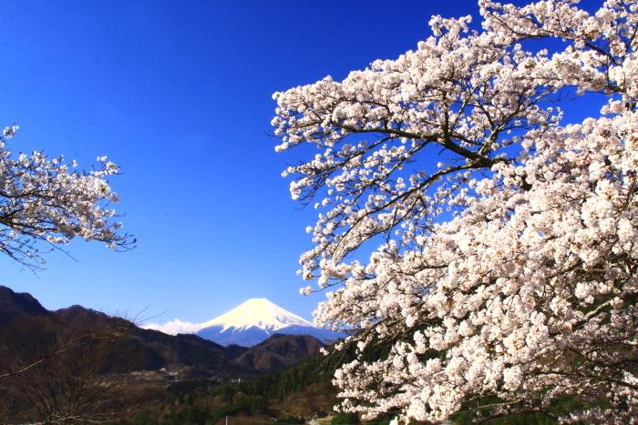 令和2年4月の富士 (5) 真木福正寺の桜と富士_e0344396_22050756.jpg