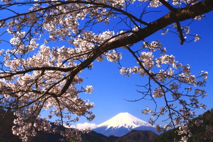 令和2年4月の富士 (5) 真木福正寺の桜と富士_e0344396_22050780.jpg