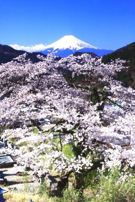 令和2年4月の富士 (5) 真木福正寺の桜と富士_e0344396_22050857.jpg