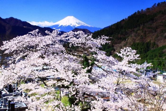 令和2年4月の富士 (5) 真木福正寺の桜と富士_e0344396_22050878.jpg