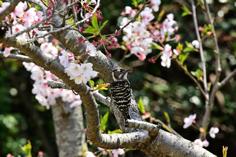 桜 コゲラ_e0362696_16142619.jpg