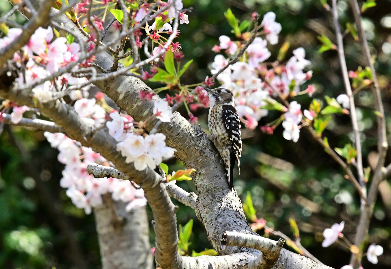 桜 コゲラ_e0362696_16142939.jpg