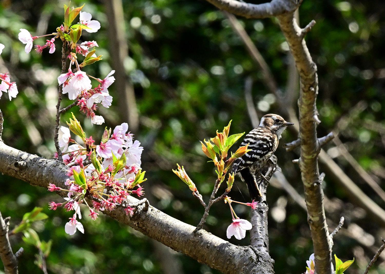 桜 コゲラ_e0362696_16143289.jpg