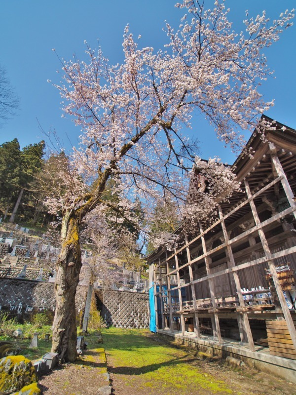 枝垂れ桜 昨日は7分咲きくらいでしょうか ⑤_c0336902_15040701.jpg