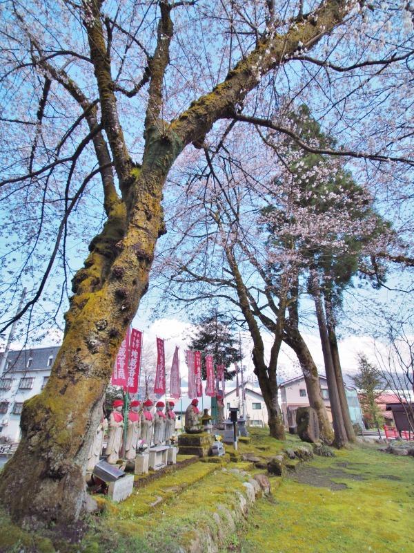 枝垂れ桜 昨日は7分咲きくらいでしょうか ⑤_c0336902_15041822.jpg