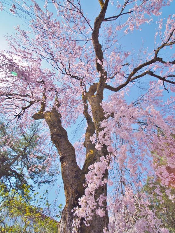 枝垂れ桜 昨日は7分咲きくらいでしょうか ⑤_c0336902_15042159.jpg