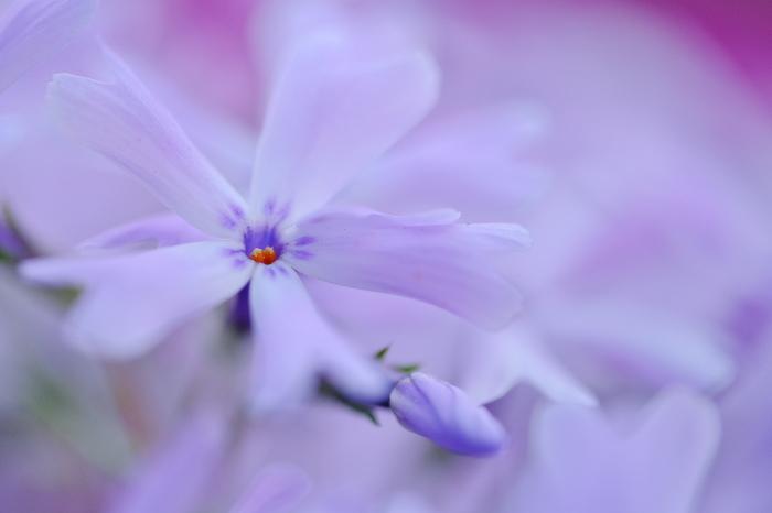 芝桜_c0167028_16092151.jpg