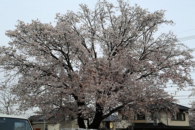 山桜本日満開_f0076731_21271208.jpg