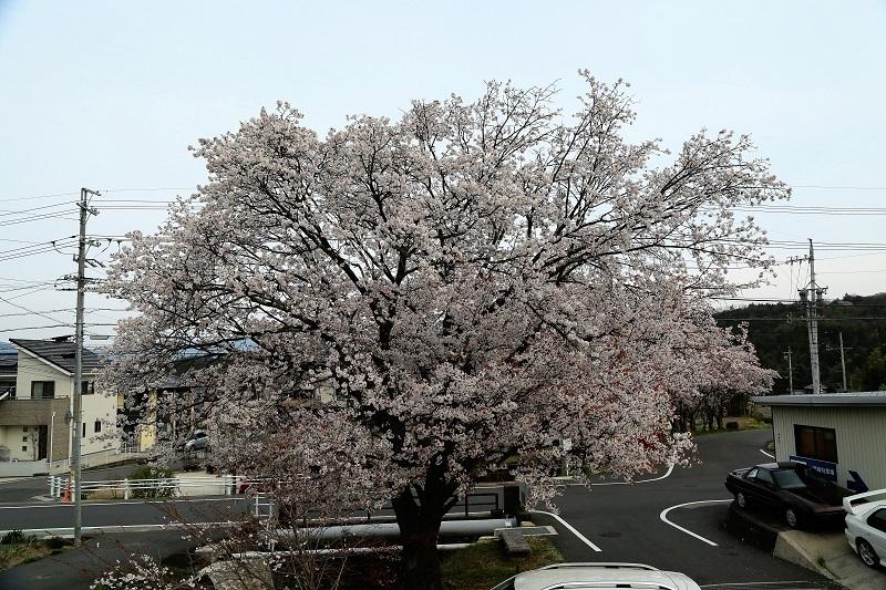 山桜本日満開_f0076731_21271718.jpg