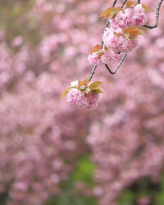 近所の春(1)_f0348831_21090033.jpg