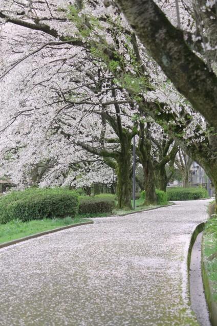 桜のじゅうたん_d0377645_22511281.jpg
