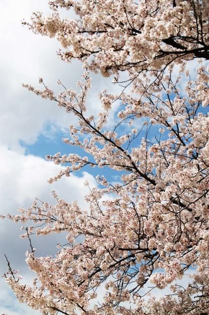 桜のじゅうたん_d0377645_22512142.jpg