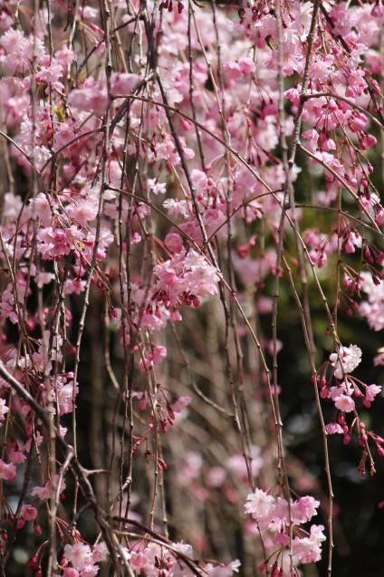 桜のじゅうたん_d0377645_22513521.jpg