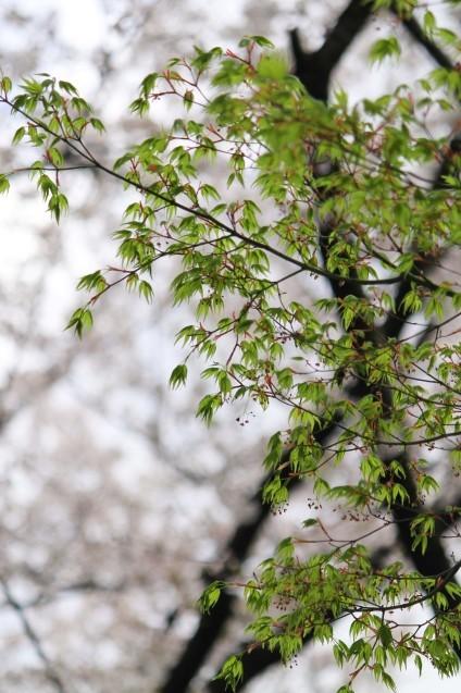 桜のじゅうたん_d0377645_22514194.jpg