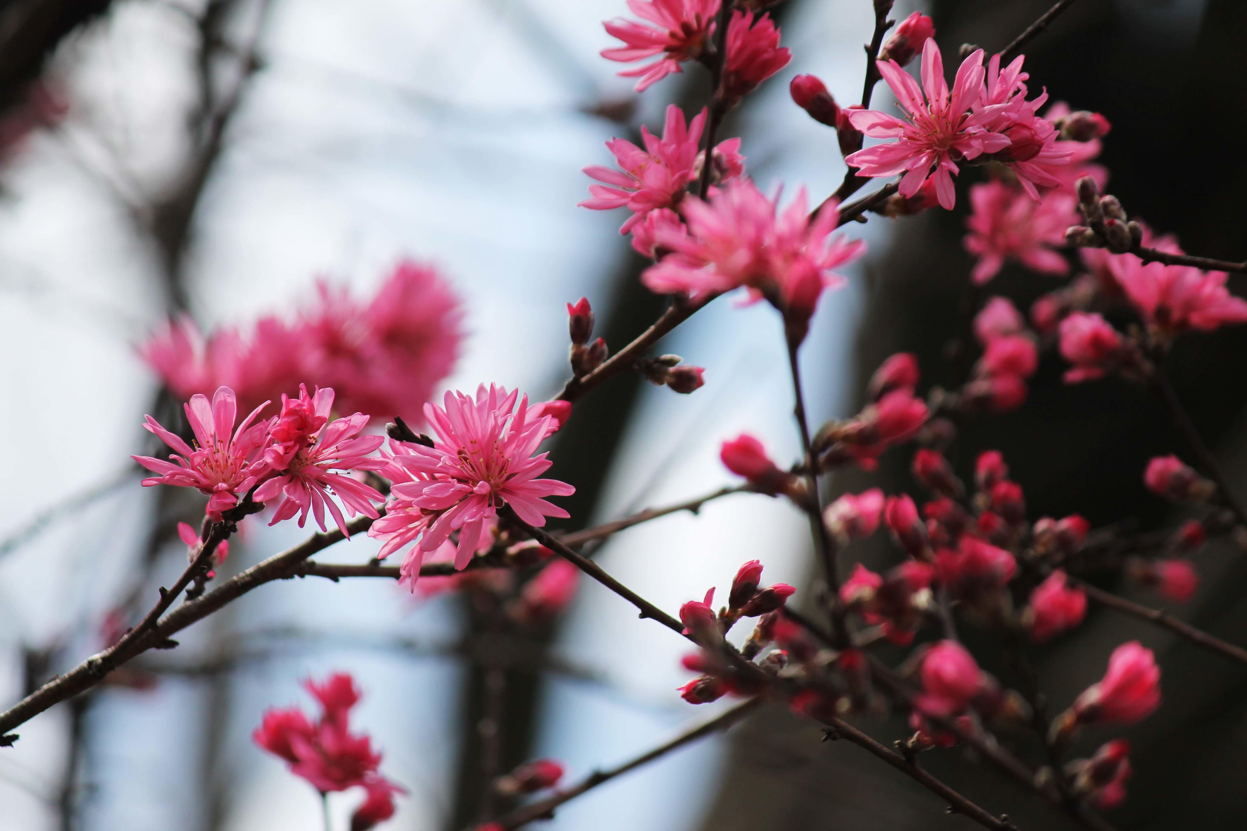 桜のじゅうたん_d0377645_22522619.jpg