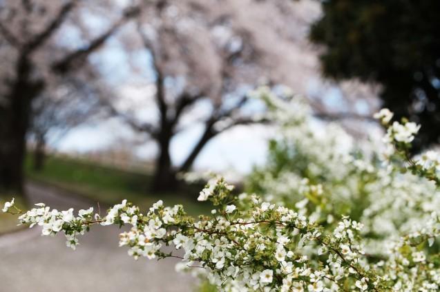 桜のじゅうたん_d0377645_22523544.jpg