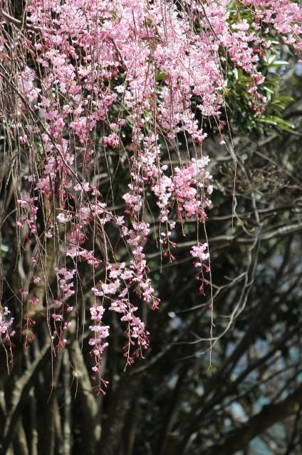 桜のじゅうたん_d0377645_23081853.jpg