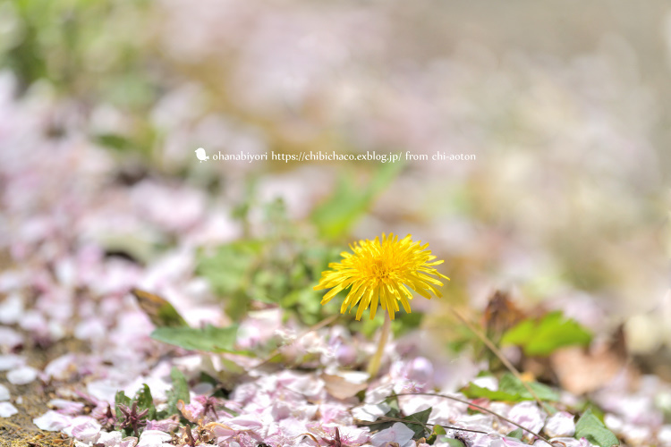 お花見のお知らせ( *´艸`)♡_c0319774_15362207.jpg