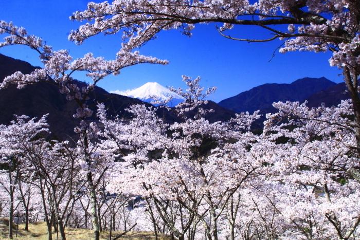 令和2年4月の富士 (6) 真木お伊勢山の桜と富士_e0344396_15482124.jpg
