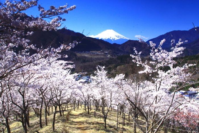 令和2年4月の富士 (6) 真木お伊勢山の桜と富士_e0344396_15482170.jpg