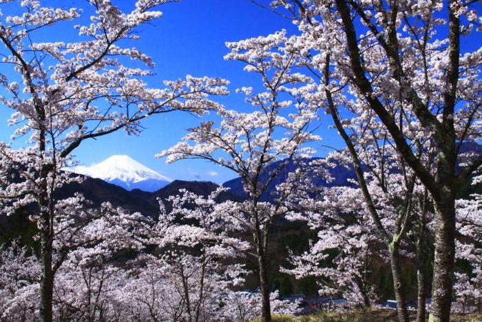 令和2年4月の富士 (6) 真木お伊勢山の桜と富士_e0344396_15482223.jpg