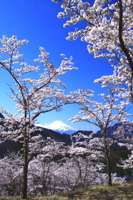 令和2年4月の富士 (6) 真木お伊勢山の桜と富士_e0344396_15482244.jpg