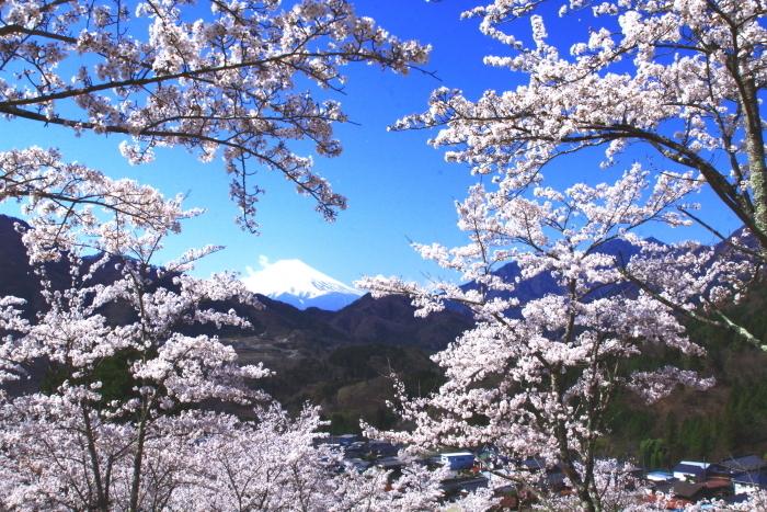令和2年4月の富士 (6) 真木お伊勢山の桜と富士_e0344396_15482290.jpg