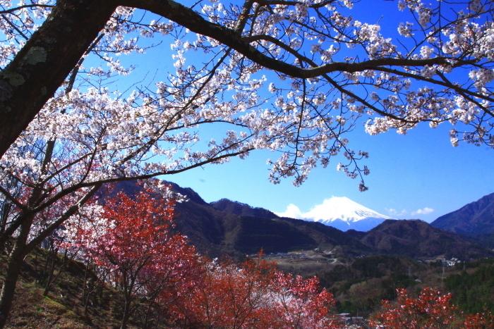 令和2年4月の富士 (6) 真木お伊勢山の桜と富士_e0344396_15482359.jpg