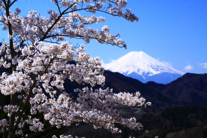 令和2年4月の富士 (6) 真木お伊勢山の桜と富士_e0344396_15482379.jpg
