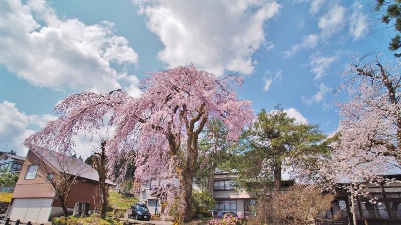 枝垂れ桜 昨日は9分咲きか ⑥_c0336902_20263902.jpg