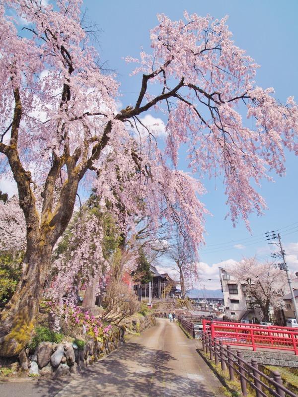 枝垂れ桜 昨日は9分咲きか ⑥_c0336902_20264300.jpg
