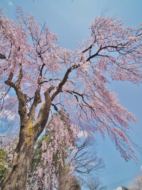 枝垂れ桜 昨日は9分咲きか ⑥_c0336902_20264843.jpg