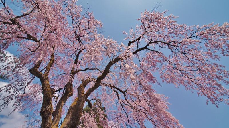 枝垂れ桜 昨日は9分咲きか ⑥_c0336902_20265283.jpg