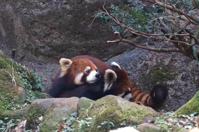レッサーパンダ「ひまわり&フランケン」~攻めのフランケン(多摩動物公園)_b0355317_21361663.jpg