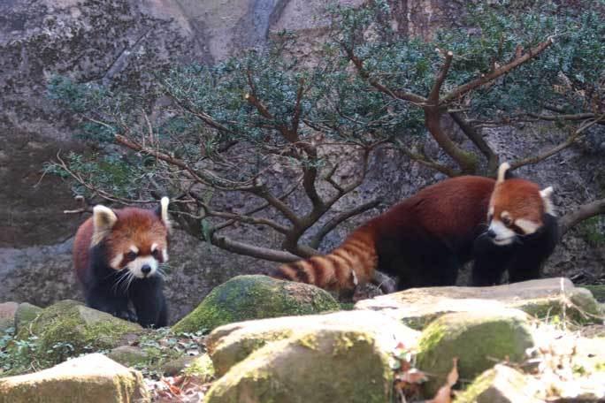 レッサーパンダ「ひまわり&フランケン」~攻めのフランケン(多摩動物公園)_b0355317_21382995.jpg