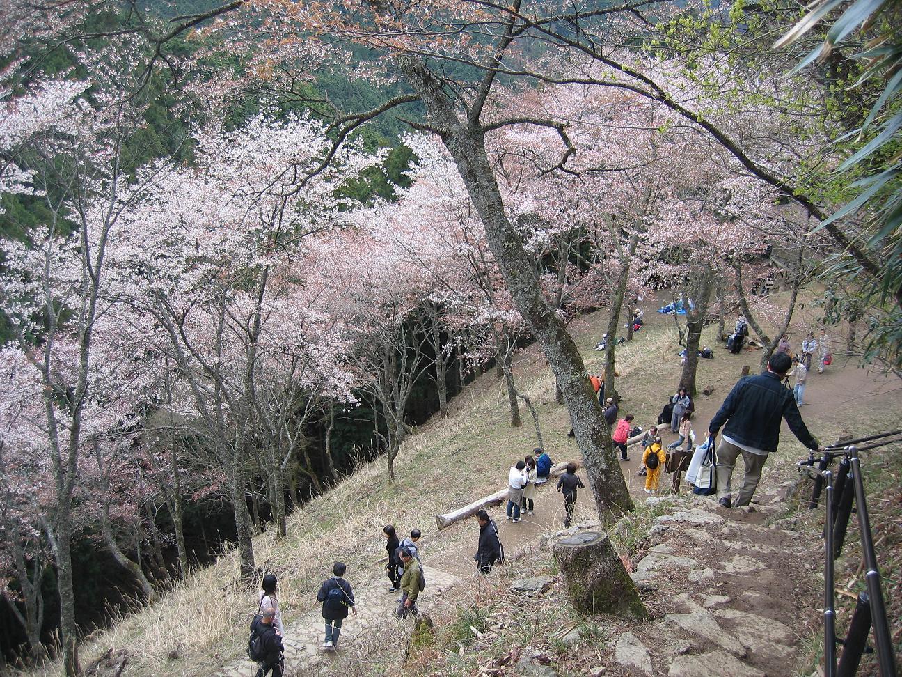 吉野山 奥千本の桜が咲いてきました!_e0154524_08384594.jpg
