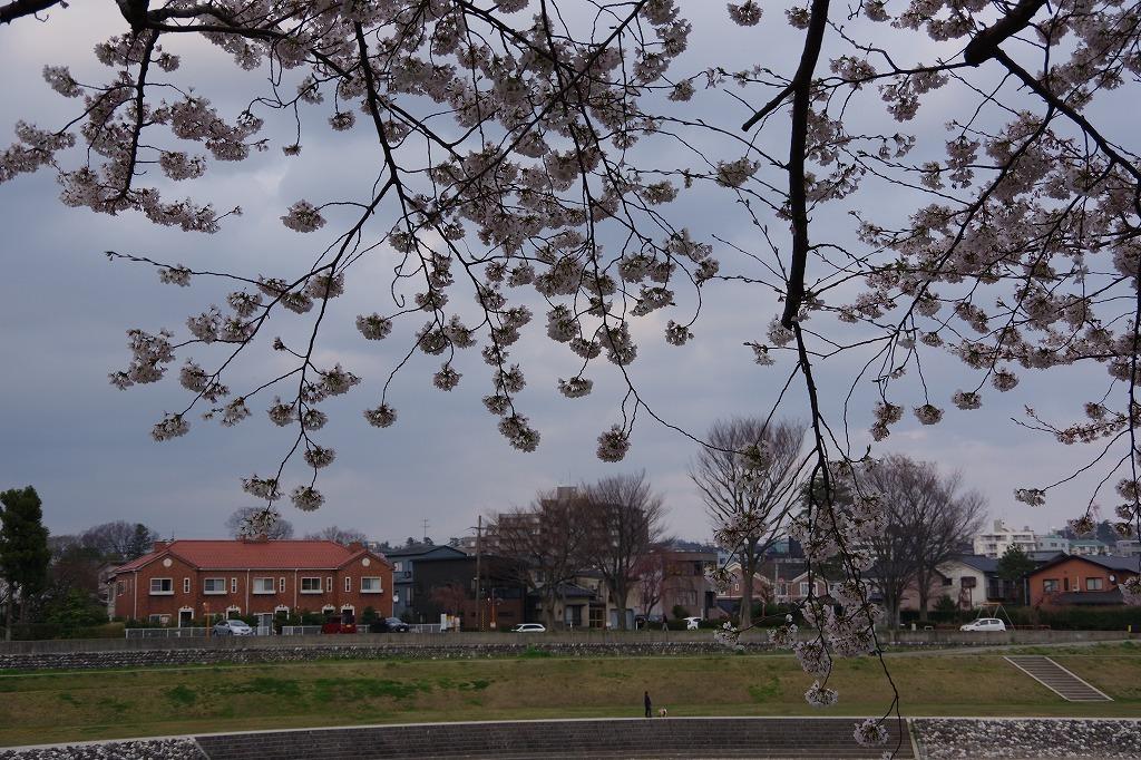 犀川べりの桜満開_d0043136_22091913.jpg