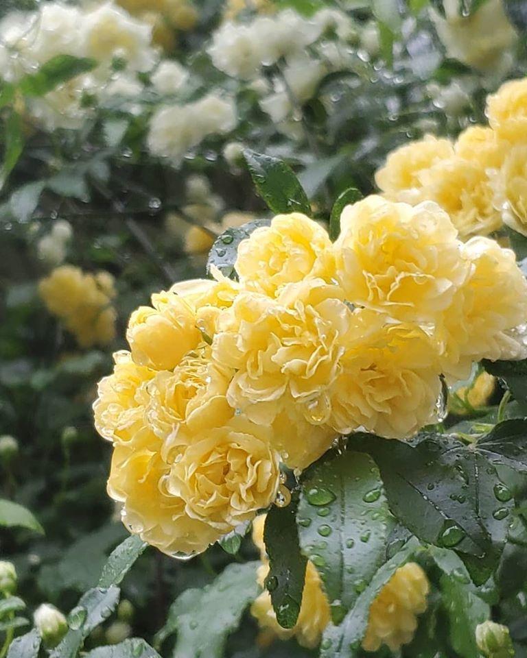 緊急事態宣言6日目 。。。 薔薇の雨降る夕暮れ時。。。。 *。:☆.。†。☆+_a0053662_22263079.jpg
