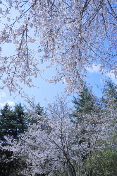 今年の桜_f0185066_23312563.jpg