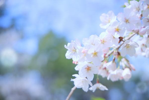 今年の桜_f0185066_23313212.jpg