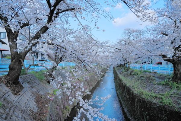 今年の桜_f0185066_23313794.jpg