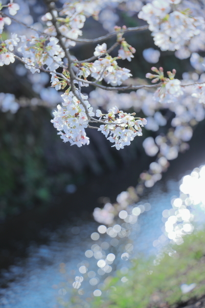 今年の桜_f0185066_23314136.jpg