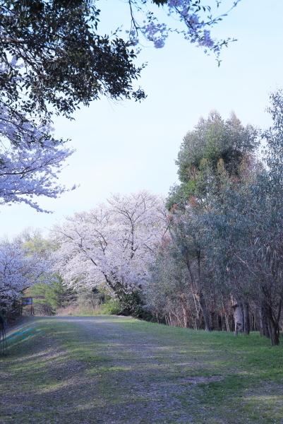 今年の桜_f0185066_23314618.jpg