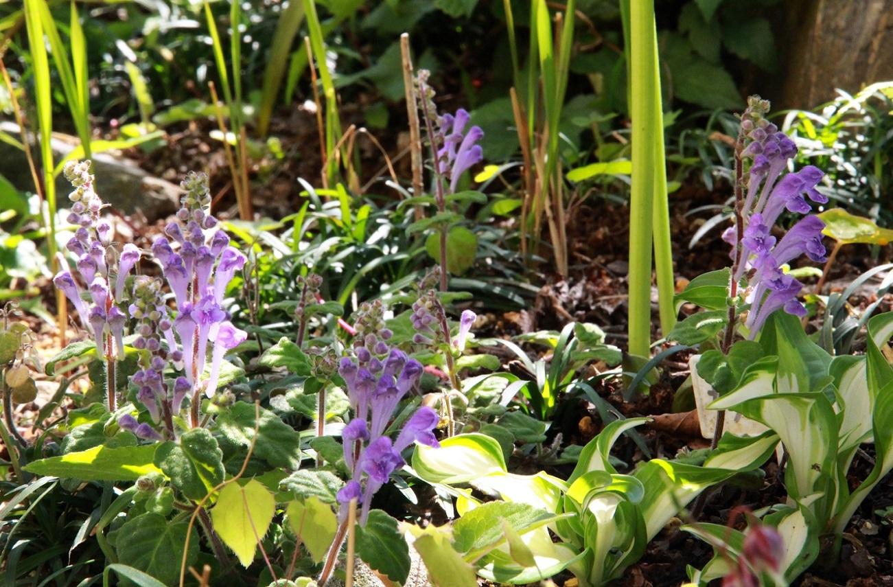 タツナミソウ(紫花)_a0107574_16034126.jpg