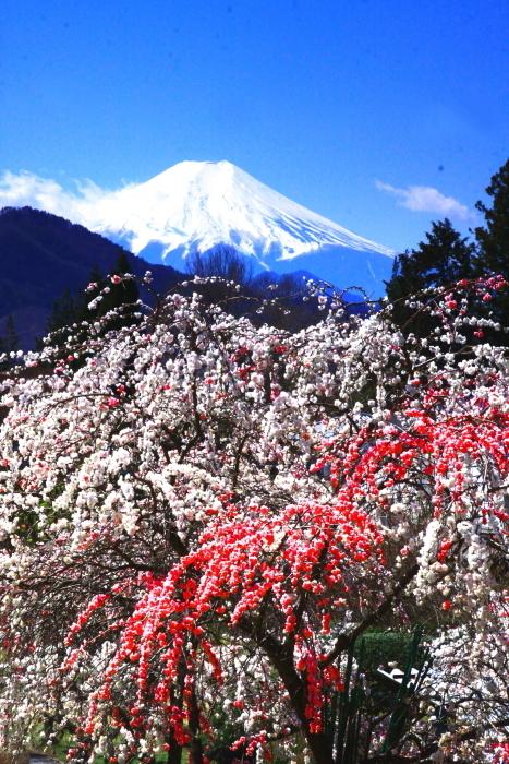 令和2年4月の富士 (7) 大月市の花桃と富士_e0344396_22462444.jpg