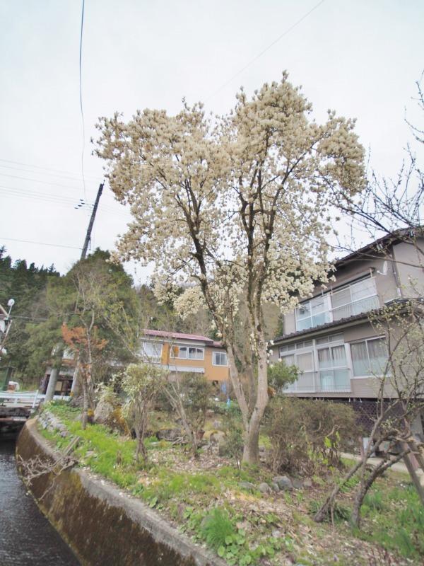 昨日は「お花見散歩」へ_c0336902_20555018.jpg