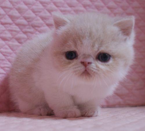 エキゾチックショートヘア子猫 クリーム レッド  2020\'3/14_e0033609_17472978.jpg