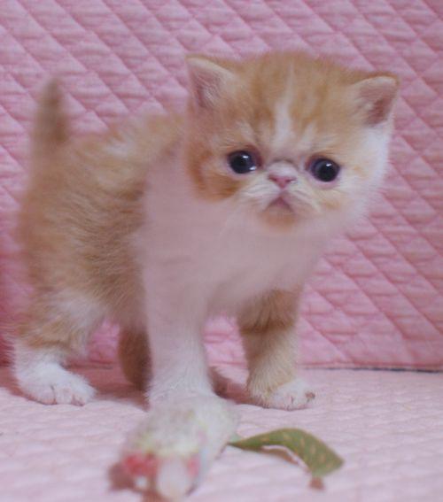 エキゾチックショートヘア子猫 クリーム レッド  2020\'3/14_e0033609_17504989.jpg