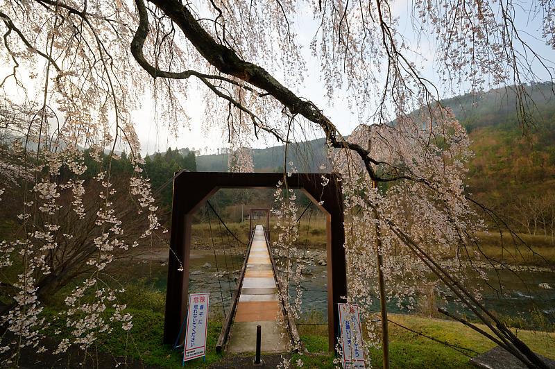 2020桜巡り@京北町 魚ヶ淵の吊り橋_f0032011_21063219.jpg