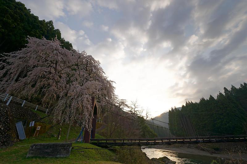 2020桜巡り@京北町 魚ヶ淵の吊り橋_f0032011_21063232.jpg